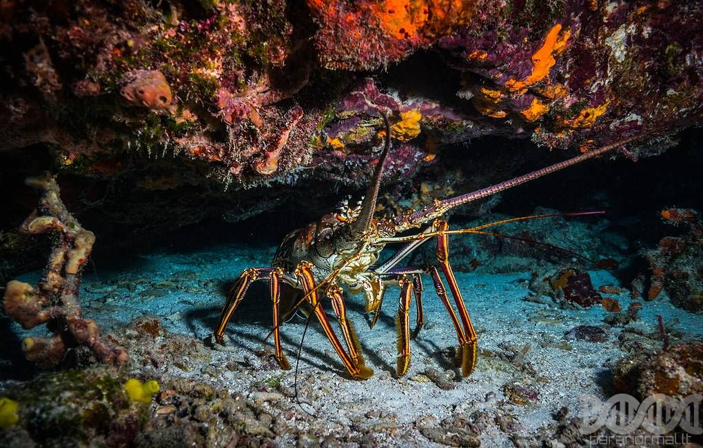 Common lobsters turned out to be the noisiest animals on Earth