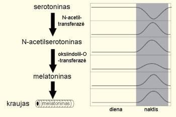 Melatoninas ir jo gamyba