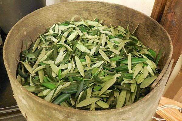 Alyvmedžio lapelių arbatą turi didelės gydomąsias savybės