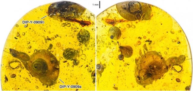 atradimas, fosilija, gintaras, radinys, sakai, sraigė, gamta