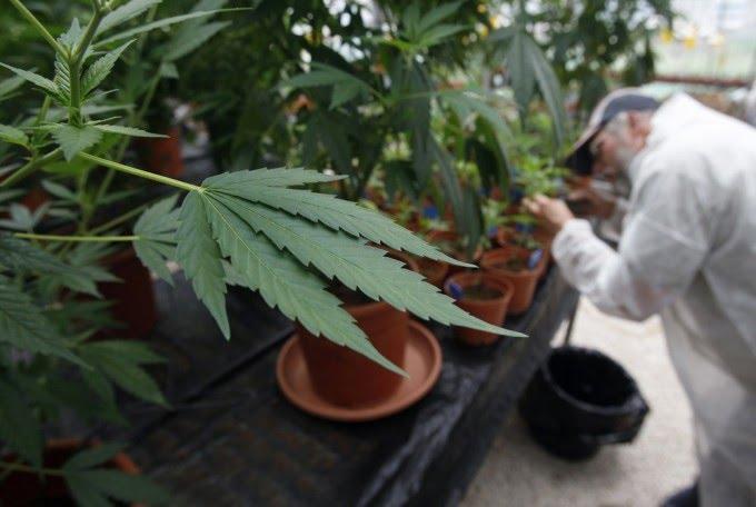 Marihuanos vartojimas ženkliai didina riziką susirgti psichikos liga