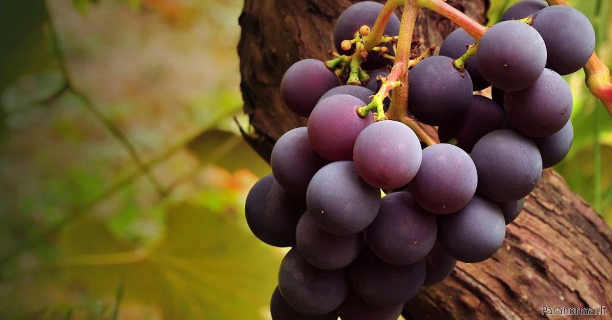 vynuogių širdies sveikata nuo ko kyla kraujo spaudimas